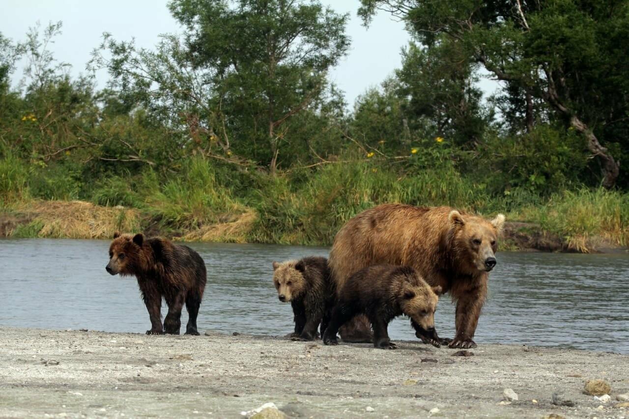 Камчатская медведица усыновила осиротевшего медвежонка, фото-2