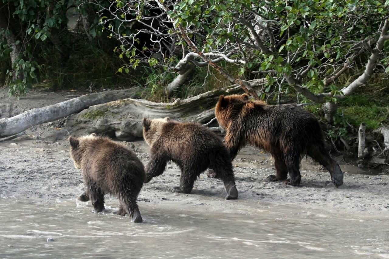 Камчатская медведица усыновила осиротевшего медвежонка, фото-3