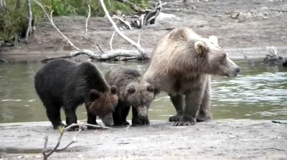 Камчатская медведица усыновила осиротевшего медвежонка, фото-5