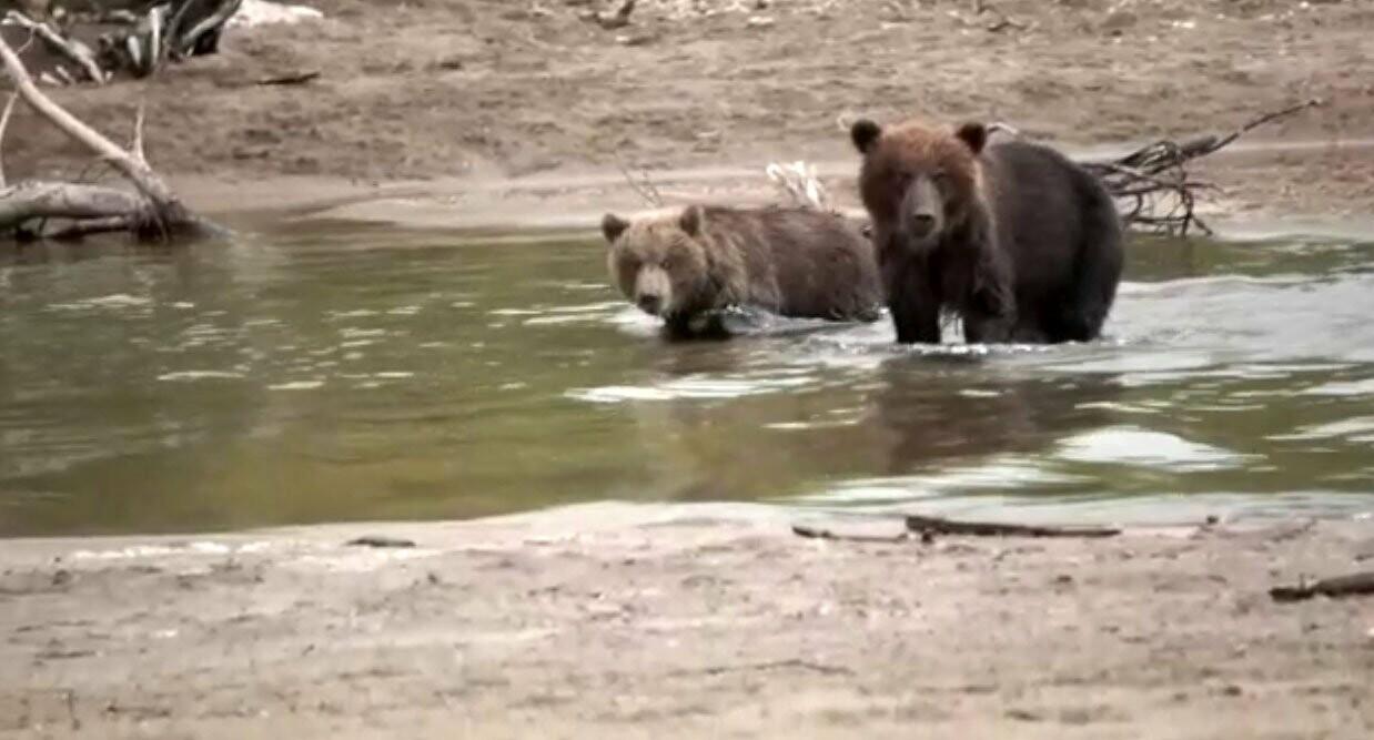 Камчатская медведица усыновила осиротевшего медвежонка, фото-4