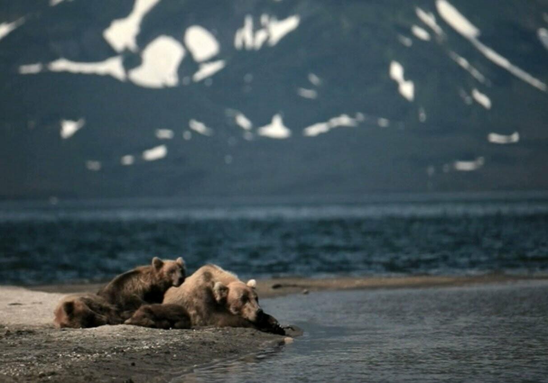 Камчатская медведица усыновила осиротевшего медвежонка, фото-6